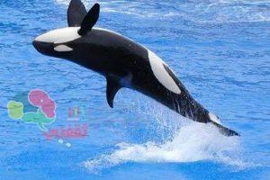 قفز الحوت القاتل في الماء.