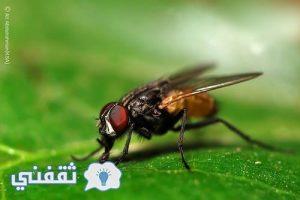 كيفية التخلص من الذباب بطريقة سهلة وبسيطة بدون المبيدات الحشرية