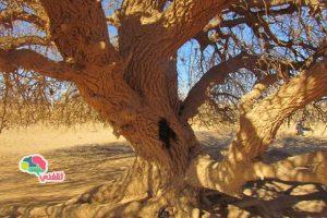 صور الشجرة التي استظل تحتها النبي في رحلته للشام والتي استمرت حتي يومنا هذا