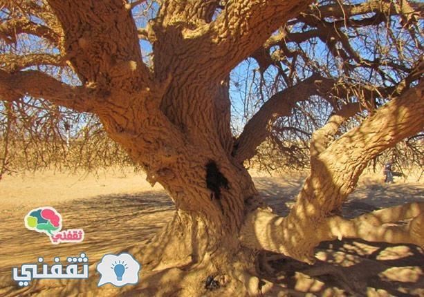 الشجرة التي استظل تحتها النبي في رحلته للشام