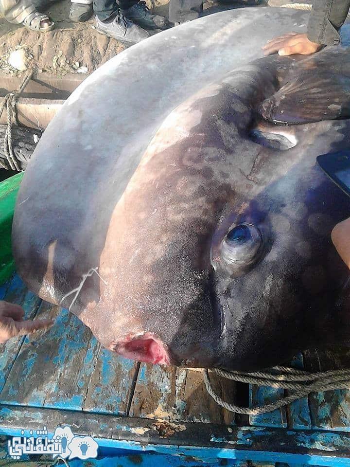 سمكة رشيد 37