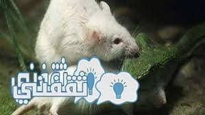 فأر شجاع يفترس أفعي سامة