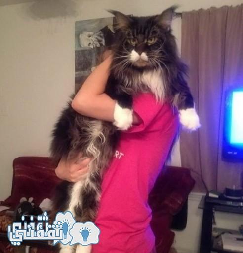 قط الراكون