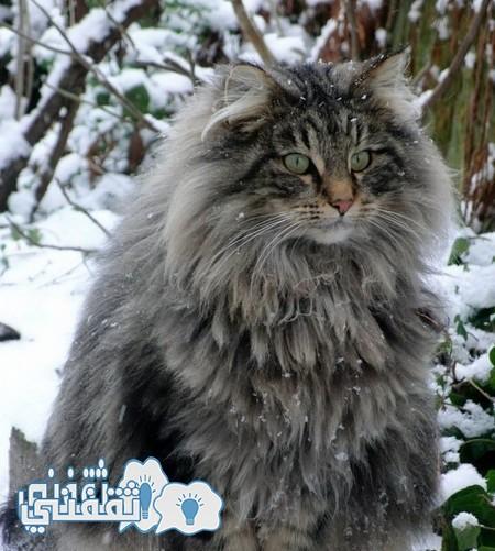 قط الراكون 1