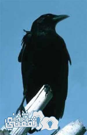 هل تعلم لماذا أمرنا الرسول بقتل الغربان