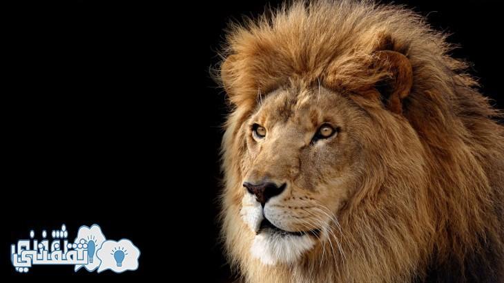 Lion-face-amazing-hd-pics - Copy