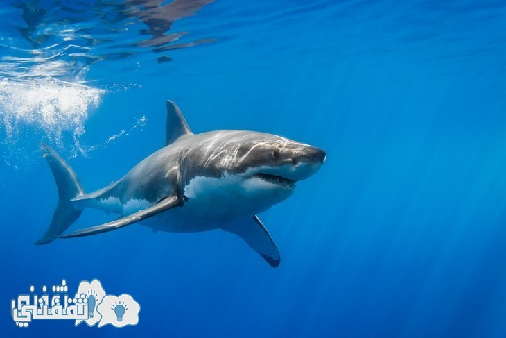 great-white-shark-with-sun-rays - Copy