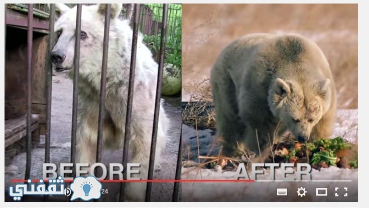 حالة الدبة فيفي بعد اطلاق سراحها