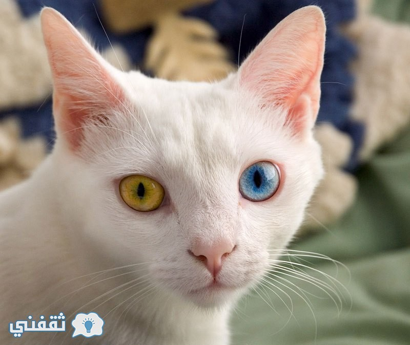 cat-with-two-different-colored-eyes-heterochromia-iridum
