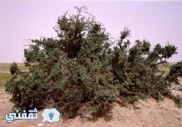 شجرة الضريع
