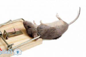 طريقة سهلة للتخلص من الفئران بسهولة بدون مبيدات كيماوية