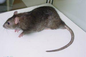 كيفية طرد الفأر من منزلك نهائياً بطريقة سهلة وغير مكلفة