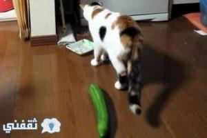 فيديو القطط تخاف من الخيار .. تعرف على السبب الغريب وراء هذا الأمر