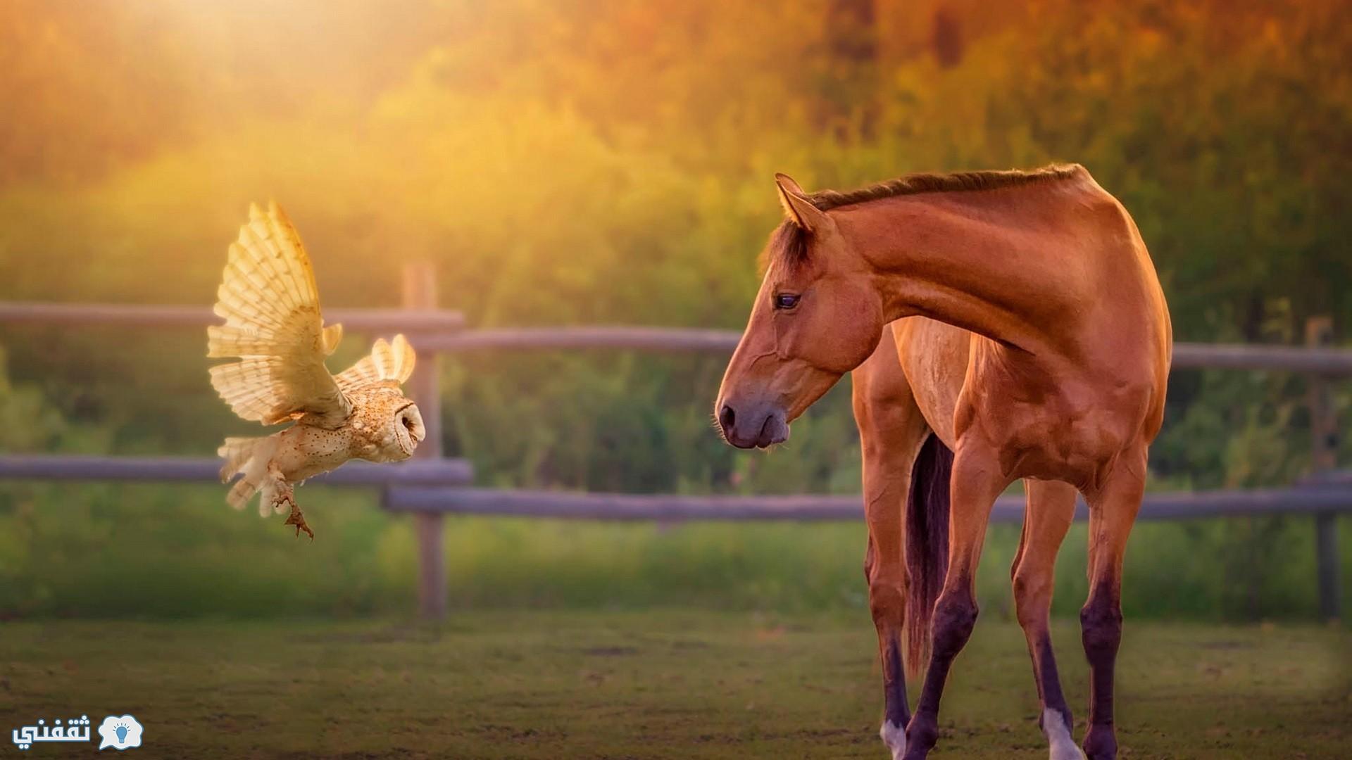 صور حصان