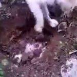 شاهد فيديو قطة تقوم بدفن أحد أبنائها مؤثر جدا