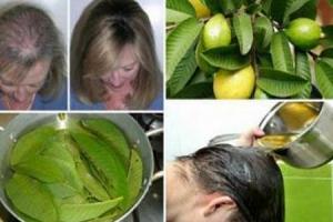 نتائج مبهرة لعلاج الشعر بأوراق الجوافة