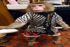 مطعم ياباني يوظف قردة