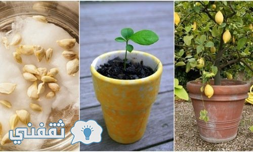 """ازرع """"شجرة ليمون"""" في منزلك بسهولة باستخدام البذور"""
