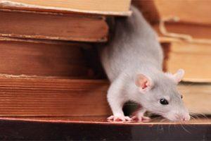 تخلصي من الفئران نهائياً بهذه الطريقة الطبيعية من داخل منزلك بدون استخدام مواد سامة