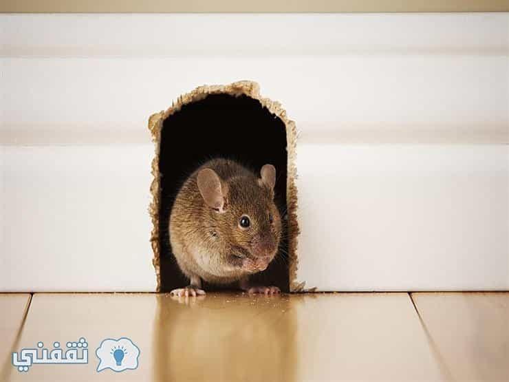 طريقة مذهلة للتخلص نهائياً من الفئران بدون مواد كيماوية