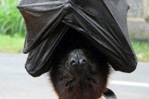 تعرف على سبب نوم الخفاش بالمقلوب معلومات مذهلة وغريبة عن الخفاش!