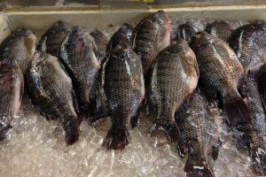 ارتفاع عدد المصابين بالسمك المسمم إلي 18 شخصا