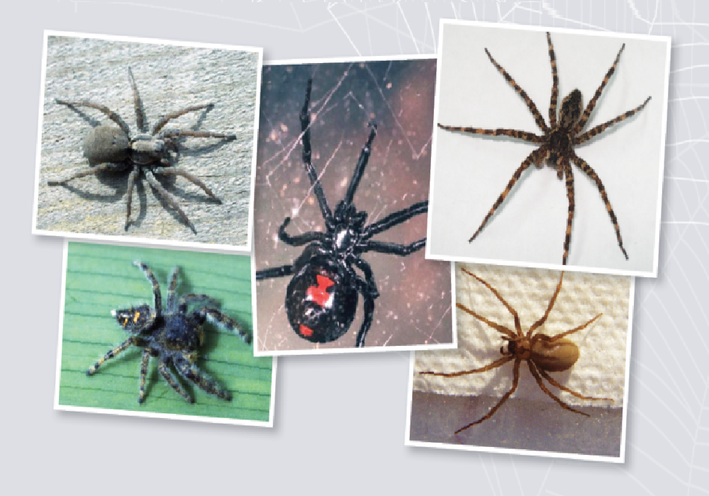 انواع العناكب السامة